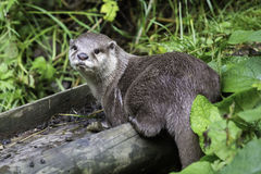 Een otter die rechtstreeks aan camera kijken Stock Foto