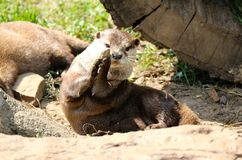 Een Otter speelt met een Rots royalty-vrije stock foto's