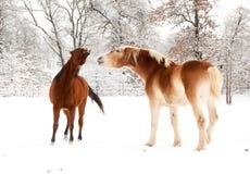 Een oud paard en het jonge paard spelen in sneeuw Royalty-vrije Stock Foto's