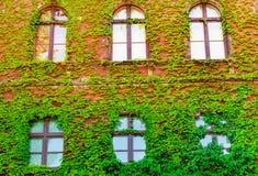 Een oud venster met een rooster, een oud gebouw dat met de groei, groene muren, klimopgewone wordt overwoekerd mooie achtergrond  stock fotografie