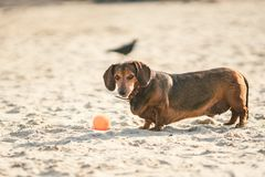 Een oud vet weinig bruine tekkelhond speelt met een rubber rode bal op een zandig strand in zonnig weer stock afbeelding