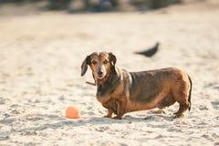 Een oud vet weinig bruine tekkelhond speelt met een rubber rode bal op een zandig strand in zonnig weer stock afbeeldingen