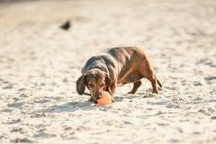 Een oud vet weinig bruine tekkelhond speelt met een rubber rode bal op een zandig strand in zonnig weer stock fotografie