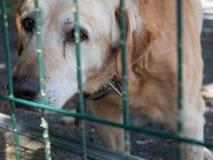 Een oude bastaarde hond kijkt droevig door de rooster van een dierlijke schuilplaats stock foto's