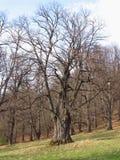 Een oude boom Royalty-vrije Stock Afbeeldingen