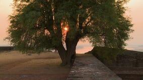 Een oude boom in het zonsonderganglicht stock footage