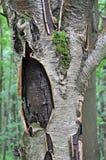Een oude boom met gebarsten schors en groen mos stock foto