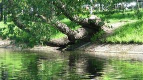 Een oude boom op de bank van het stadskanaal royalty-vrije stock fotografie