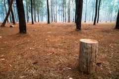 Een oude boomstomp die zich alleen in het middenbos van de pijnboomboom bevinden stock afbeeldingen