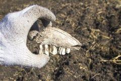 Een oude die tand tijdens uitgravingen met een metaaldetector wordt gevonden stock afbeelding
