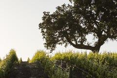 Een oude eiken boom bevindt zich wacht over een jonge wijngaard royalty-vrije stock foto