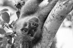 Een oude en vermoeide baviaan die in vork van een boom rusten Stock Fotografie