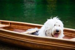 Een oude Engelse herdershond die in een kano wachten stock afbeeldingen
