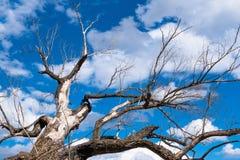 Een oude grote dode boom rekt zijn takken uit alsof het alsof met een pleidooi aan een heldere blauwe hemel waardoor witte pluizi royalty-vrije stock foto