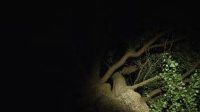 Een oude hoge vertakte boom bij nacht stock footage