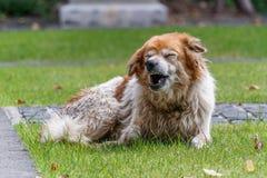 Een oude hond die en een boos-als gezicht uitdrukken geeuwen Stock Foto's