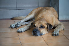 Een oude hond die voor het huis liggen Stock Foto's