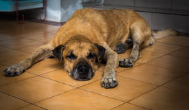 Een oude hond die voor het huis liggen Stock Afbeeldingen
