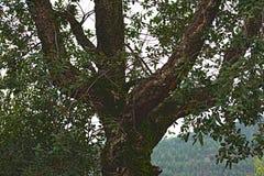Een oude olijfboom in een bos stock afbeeldingen
