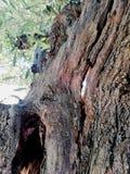 Een oude olijfboom stock afbeeldingen