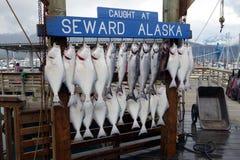 Een overvloed van verse heilbot in Alaska Royalty-vrije Stock Afbeeldingen