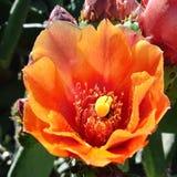 Een overweldigende die cactusbloem in bloei, op celtelefoon dicht wordt opgenomen zonder filters Royalty-vrije Stock Foto
