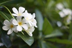 Een overweldigende mooie Plumeria-bloemen royalty-vrije stock foto's