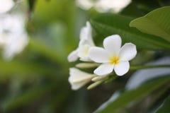 Een overweldigende mooie Plumeria-bloemen stock afbeeldingen