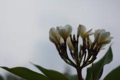 Een overweldigende mooie Plumeria-bloemen royalty-vrije stock afbeeldingen