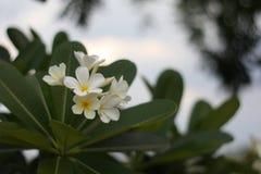 Een overweldigende mooie Plumeria-bloemen stock fotografie