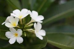 Een overweldigende mooie Plumeria-bloemen stock foto's