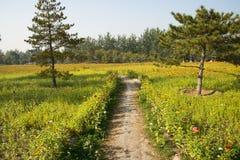 Een overzees van bloemen, Zinnia Royalty-vrije Stock Foto's