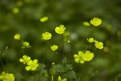 Een Overzees van Gele Bloemen Royalty-vrije Stock Foto's