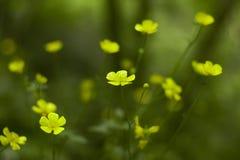 Een Overzees van Gele Bloemen Royalty-vrije Stock Foto