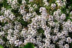 Een Overzees van Kleine Witte Bloemen Royalty-vrije Stock Afbeeldingen