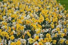 Een overzees van narcissen en gele narcissen Stock Afbeeldingen