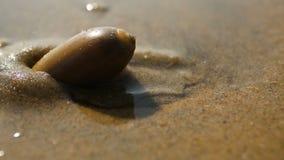 Een overzeese slak op het strand van Arabische Overzees stock videobeelden