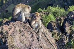 Een paar apen in de open aard, zorgt voor elkaar Op Vulcan Batur Bali De hoogte van 2000 meters boven overzees - niveau E Royalty-vrije Stock Foto's