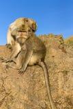 Een paar apen in de open aard, zorgt voor elkaar Op Vulcan Batur Bali De hoogte van 2000 meters boven overzees - niveau E Stock Foto