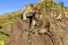 Een paar apen in de open aard, zorgt voor elkaar Op Vulcan Batur Bali De hoogte van 2000 meters boven overzees - niveau E Royalty-vrije Stock Afbeelding