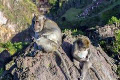 Een paar apen in de open aard, zorgt voor elkaar Op Vulcan Batur Bali De hoogte van 2000 meters boven overzees - niveau E Royalty-vrije Stock Afbeeldingen