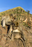 Een paar apen in de open aard, zorgt voor elkaar Op Vulcan Batur Bali De hoogte van 2000 meters boven overzees - niveau E Stock Foto's