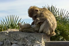 Een paar apen gibraltar Stock Foto's