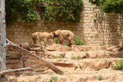 Een paar beren Royalty-vrije Stock Foto's