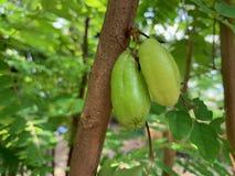Een paar bilimbi op de boom met tak, Bilimbing, Komkommerboom, Averrhoa-bilimbi royalty-vrije stock afbeelding