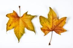 Een paar bladeren Stock Afbeeldingen