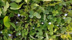 Een paar blauwe bloemen in het midden van de groene bladeren royalty-vrije stock afbeelding