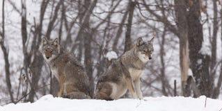 Een paar coyotes in een bos Stock Foto's