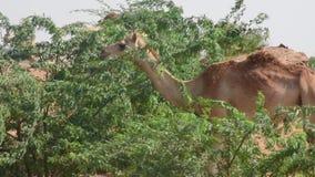 Een paar dromedariskamelen die en Camelus-dromedarius in de duinen van het woestijnzand van de V.A.E bevinden zich zitten stock videobeelden