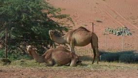 Een paar dromedariskamelen die en Camelus-dromedarius in de duinen van het woestijnzand van de V.A.E bevinden zich zitten stock video
